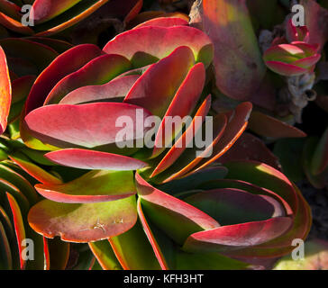 Flapjack cactus or paddle plant  kalanchoe luciae makes a dramatic ornamental  statement in any  sunny garden  being - Stock Photo
