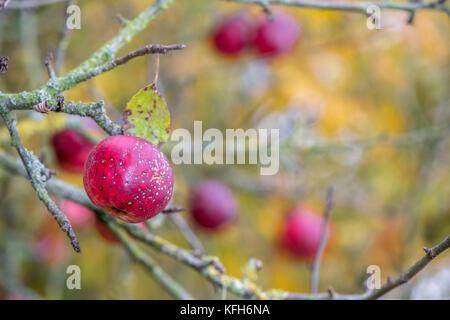Ripe Crab apples still on their tree. - Stock Photo