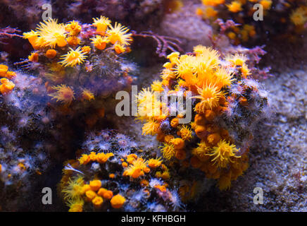 Close up picture of yellow cup corals - Stock Photo
