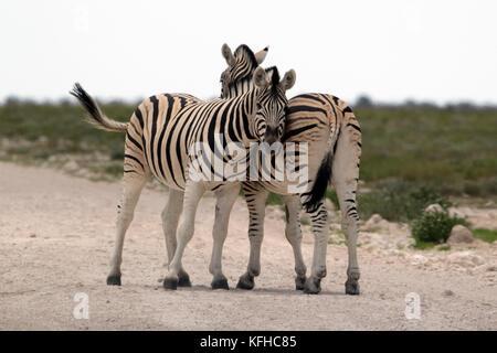 Two zebras stand on the road near the Okaukeujo Camp in Etosha National Park, Namibia. - Stock Photo