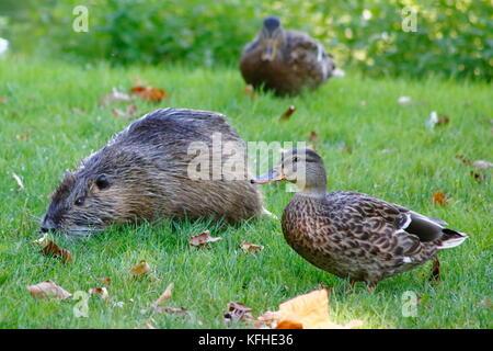 Ente trifft Nutria Biberratte auf der Wiese - Stock Photo