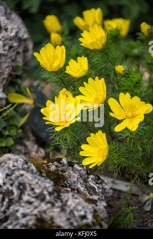 Bright yellow flowers of Adonis vernalis in the flower bed - Stock Photo