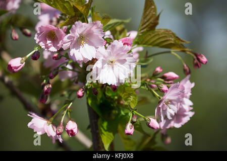 Flowering sakura branch close up - Stock Photo
