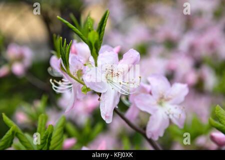 Blooming Rhododendron schlippenbachii (royal azalea) close-up - Stock Photo