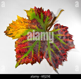 Autumn vine leaf on a white background