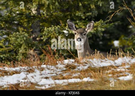 A female mule deer (Odocoileus hemionus); looking over a ridge near Cadomin Alberta Canada