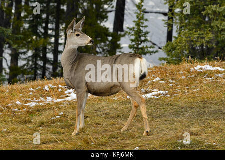 A female mule deer (Odocoileus hemionus); looking back over her shoulder to see what is behind her near Cadomin - Stock Photo