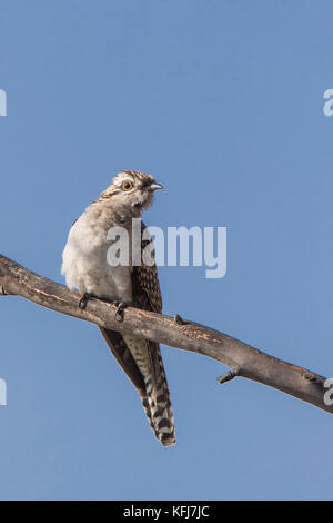 Pallid Cuckoo (Cacomantis pallidus).  Maldon, Victoria, Australia - Stock Photo