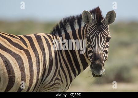 A zebra stares in at the camera along the side of the road while grazing near the Okaukeujo Camp in Etosha National Park, Africa.