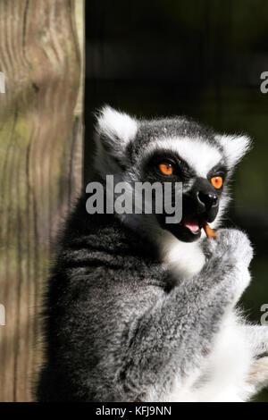 A Ring-tailed Lemur, Lemur catta, eating