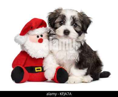 Cute Bichon Havanese puppy dog sitting with a little Santa Claus plush toy - Isolated on white background - Stock Photo