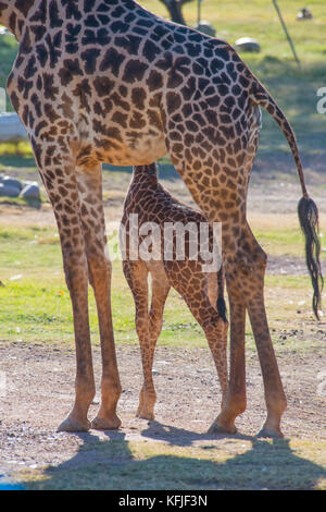 Giraffe Mother and Daughter - Stock Photo