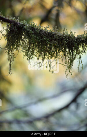 Artistic closeup of moss on a tree branch with fall nature leaves in the background. Vancouver Island, BC, Canada. - Stock Photo
