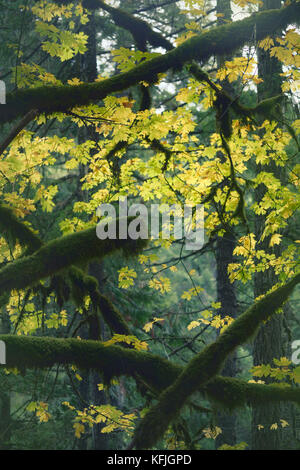 Beautiful tranquil fall nature scenery of mossy tree branches and colorful yellow autumn foliage in the background. - Stock Photo