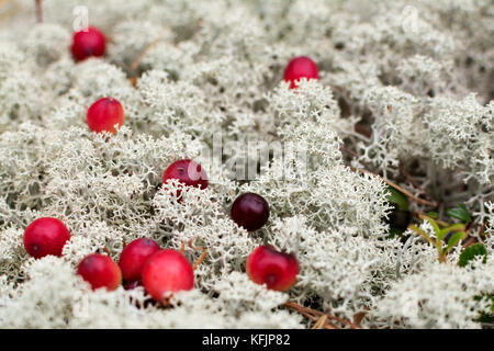 Red berry on forest ground white moss in autumn day - Stock Photo