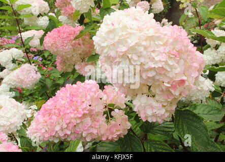 Showy blooms (panicles) of Hydrangea paniculata 'Vamille Fraise' displaying pink colouring in an English garden - Stock Photo