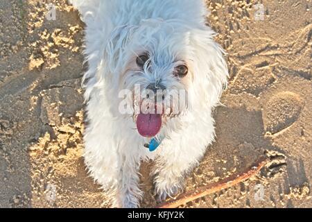 White Maltese dog enjoying playing on the beach - Stock Photo
