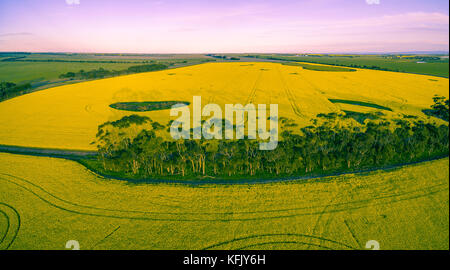 Aerial panoramic view of canola field at sunset - Stock Photo
