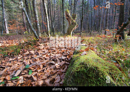 Forest fairytale scenic landscape with primeval forest in autumn, dead tree trunk with moss, foliage on floor - Stock Photo