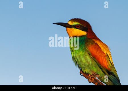 bird of paradise with beautiful feathers - Stock Photo