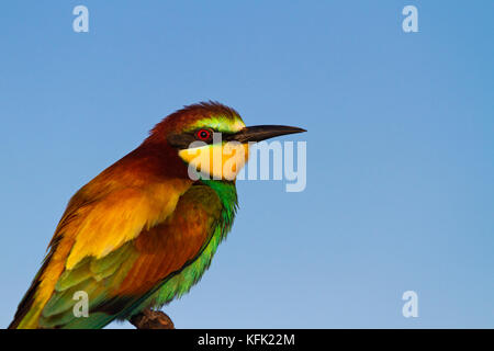 bird of paradise with beautiful feathers on the background of the sky - Stock Photo