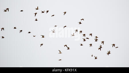 A Flock of Bar-tailed Godwits (Limosa lapponica) flying over the north sea island Juist in East Frisia, Germany, - Stock Photo