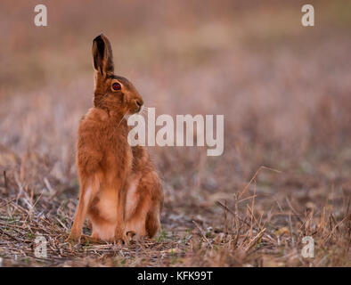 Brown Hare (Lepus europaeus) , Gloucestershire - Stock Photo