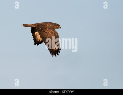 A wild Common Buzzard (Buteo buteo) in evening sunshine over Gloucestershire - Stock Photo