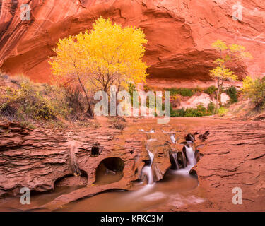 Towering over the canyon floor of Coyote Gulch is a cottonwood tree golden in fall colors. The river cuts through - Stock Photo