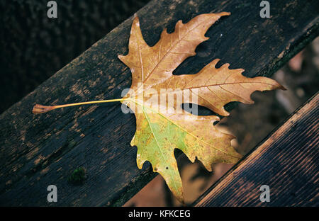 Maple dry leaf fallen on a wooden bench at autumn after the rain - Stock Photo
