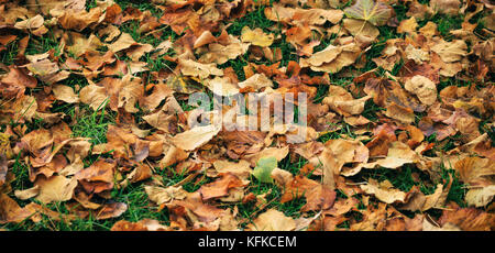 Maple dry leaves fallen on the ground at autumn after the rain - Stock Photo