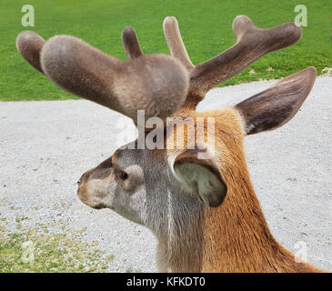 Rothirsch, Cervus elaphus, Rotwild, Hirsch - Stock Photo