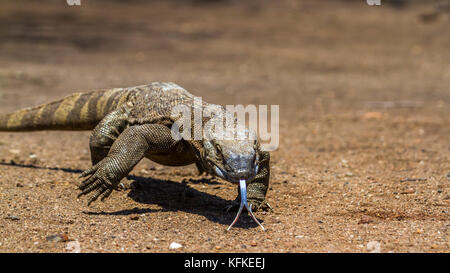 Nile monitor lizard in Kruger national park, South Africa ; Specie Varanus niloticus family of varanidae - Stock Photo
