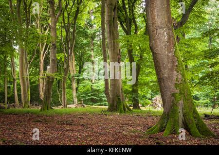 Beech primeval forest with deadwood, Jasmund National Park, Island of Rügen, Mecklenburg Vorpommern, Germany - Stock Photo