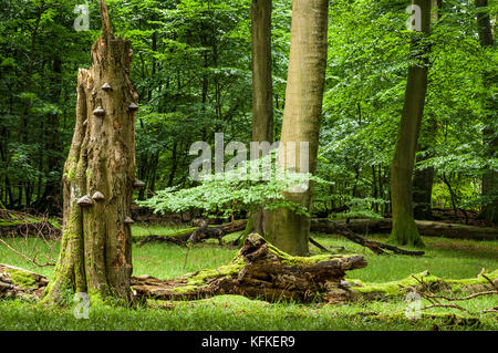 Old beech forest, beech primeval forest with dead wood and mushrooms, National Park Jasmund, Island of Rügen - Stock Photo