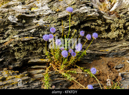 Sheep's bit scabiouses (Jasione montana), on slate, Cornwall, England, Great Britain - Stock Photo