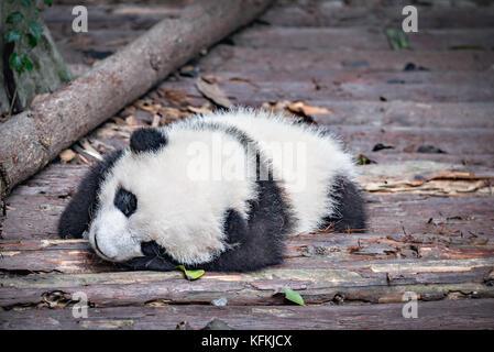 Baby of Giant Panda sleeps in the park - Stock Photo