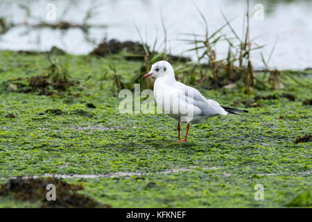 Black-headed gull (Chroicocephalus ridibundus) adult in winter plumage - Stock Photo