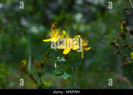 Perforate St John s wort. Hypericum perforatum macro flowering plant - Stock Photo