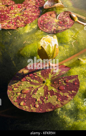 Water lily pads and flower bud on a small garden pool in UK showing build up of algae and duckweed - Stock Photo