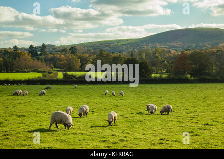 Sheep in South Downs National Park, West Sussex, England. - Stock Photo