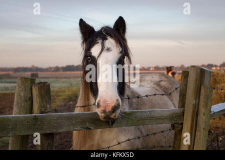 Southport, Lancashire, 30th October, 2017. UK Weather. Cold frosty winter morning for livestock as temperatures - Stock Photo