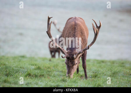 Windsor, UK. 30th Oct, 2017. UK Weather. Red stags graze shortly after sunrise in a frosty Windsor Great Park. There - Stock Photo