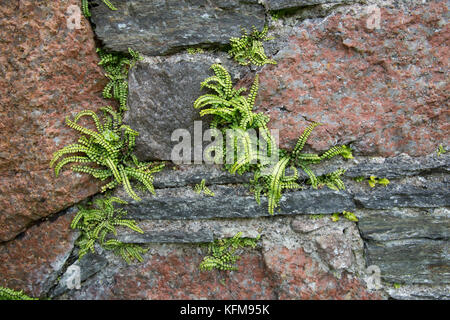Ferns growing in crevices of walls Iona Nunnery ruins of Augustinian Convent Iona Abbey Scotland - Stock Photo