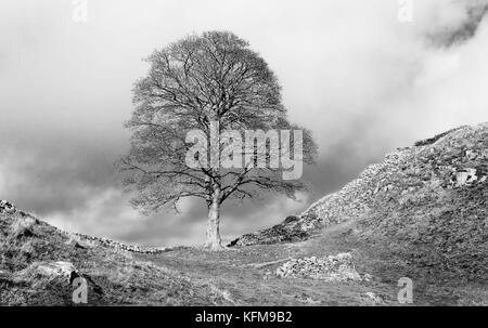 Sycamore tree (aka Sycamore Gap) in autumn with a view of Hadrian's Wall following contours of hills against a a - Stock Photo