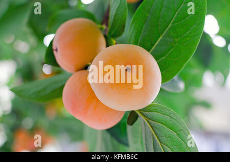 Branch with a bunch of ripe orange persimmon on a tree. Photo with shallow depth of focus. - Stock Photo