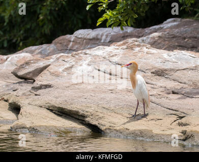 Cattle egret in breeding plumage approaching water to have a drink taken during a boat safari inside Ranganathittu - Stock Photo