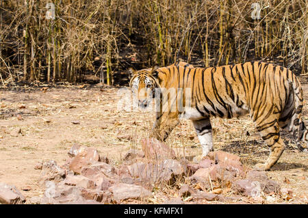 A tiger walking in the forests of Bandhavgarh National Park on a hot summer day - Stock Photo