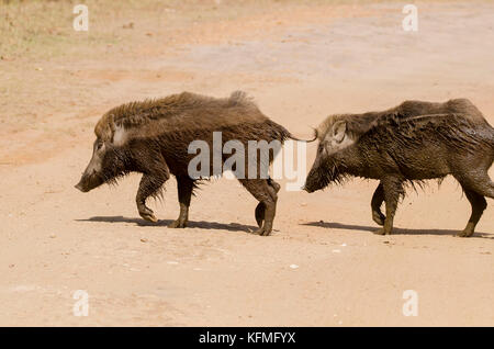 A pair of indian wild boar crossing the forest road inside bandhavgarh national park during Wildlife safari - Stock Photo