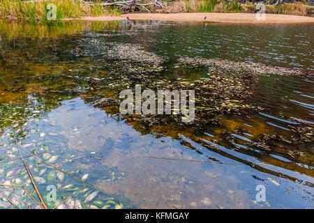 Fish pestilence in the Ellery Creek Big Hole, MacDonnell National Park, Australia - Stock Photo